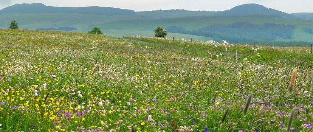 Les prairies à flore diversifiée d'Auvergne