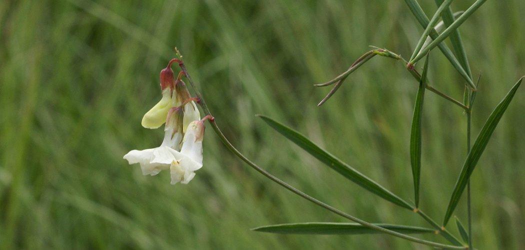 La Gesse blanchâtre redécouverte en Ardèche
