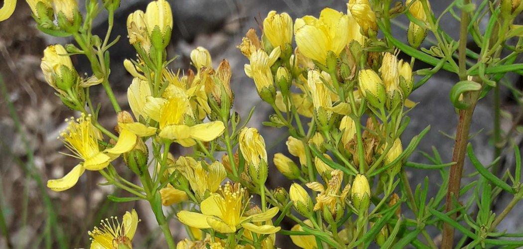 Le Millepertuis à feuilles d'Hysope, une espèce nouvelle pour l'Ardèche !