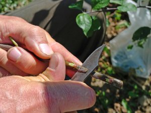 Découvrez les vergers du Conservatoire botanique et apprenez à greffer vos fruitiers...