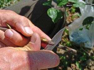 Apprenez à greffer les fruitiers de variétés locales...