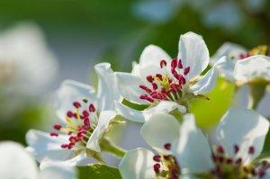 Découvrez les vergers du Conservatoire botanique et apprenez à tailler vos fruitiers...