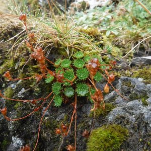 Le Saxifrage de Lamotte, une espèce endémique d'Auvergne en voie de disparition ?