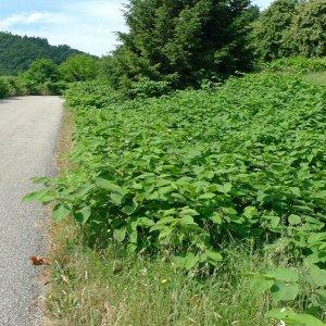 Réseau routier : une nouvelle méthode de recensement des espèces exotiques envahissantes...