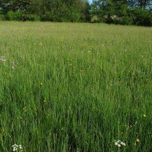 Découverte de Carex hartmanii pour le département du Cantal