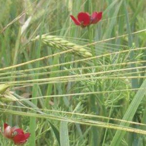 Une nouvelle plateforme web en faveur des plantes habitantes des moissons : plantesmessicoles.fr