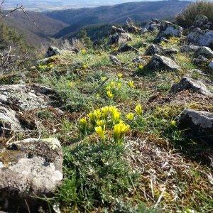 La Gagée de Bohême : une espèce protégée des affleurements basaltiques