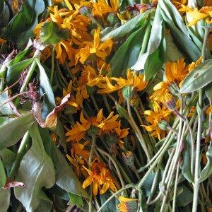 La cueillette des plantes sauvages sur le territoire du CBN Massif central : état des lieux et perspectives…